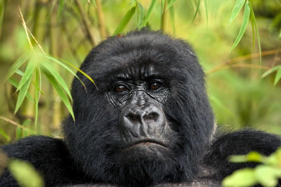Gorilla at Mahogany Springs.