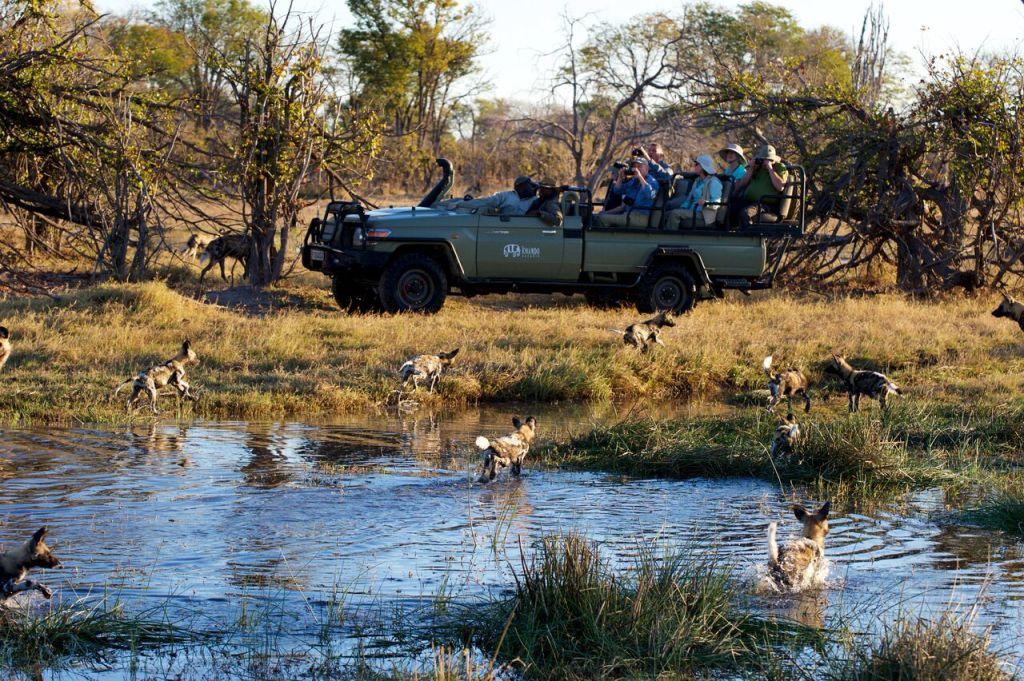 Kwando Safaris Kwara wild dogs close to vehicle_preview