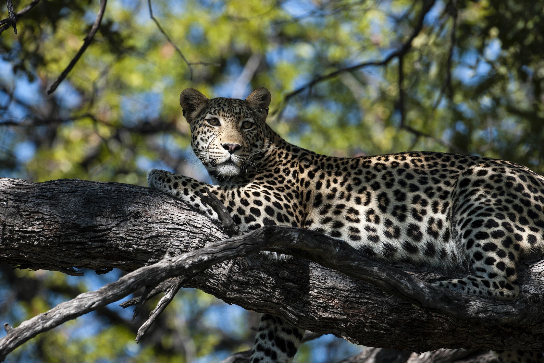 Liquid Giraffe, Botswana, Okavango Delta, Chobe National Park, Big Cat Safari, Big Cat Safaris, Safari Package, Safari Experts, Botswana Safari, African Safari