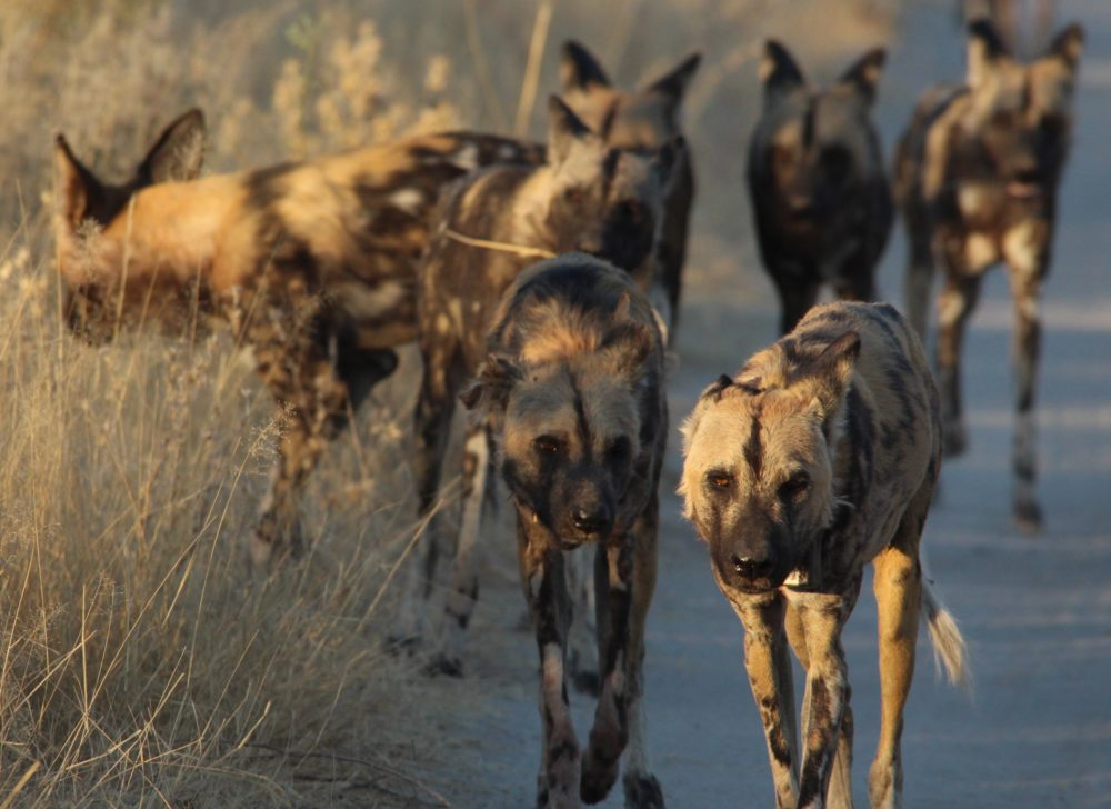 World Dog Day, Dogs of Africa, Wild Dogs, Moremi Game Reserve, Liquid Giraffe, Botswana