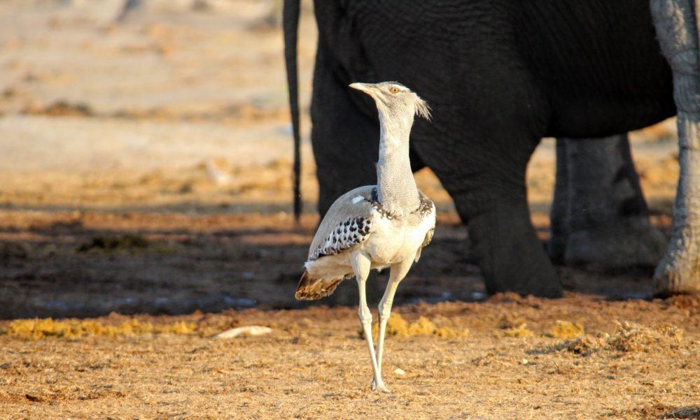 Liquid Giraffe, Botswana Birding Safari, Birding Safari, Botswana Birding, Birding Destinations