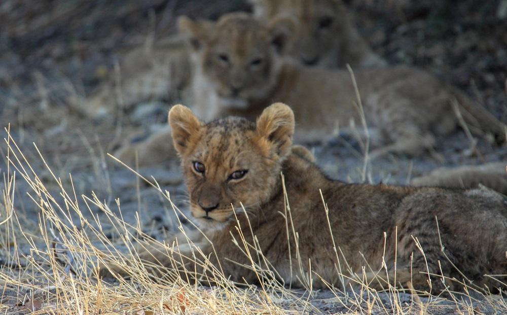 Liquid Giraffe, Savuti Lions, Savuti Lion Pride, Savuti Safari Lodge, Botswana Safari
