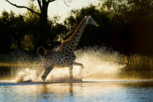 Liquid Giraffe, African Safari, Love Giraffes, Reasons to Love Giraffes, Giraffe Running