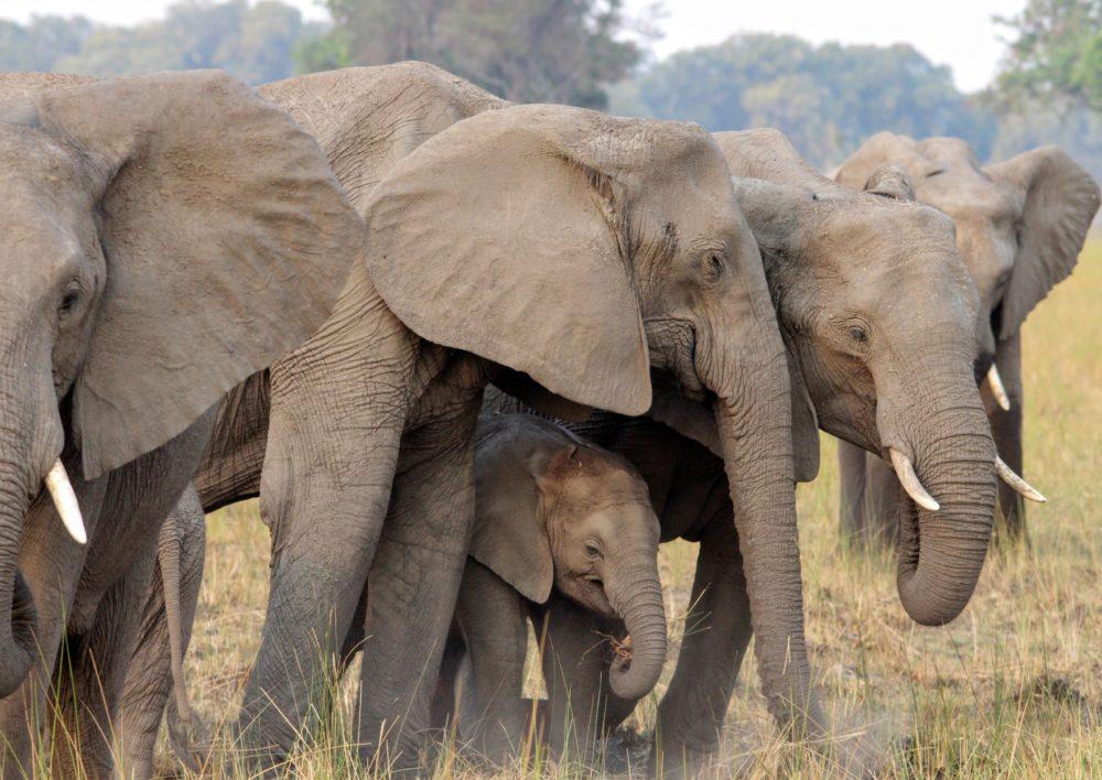 Liquid Giraffe, African Elephants