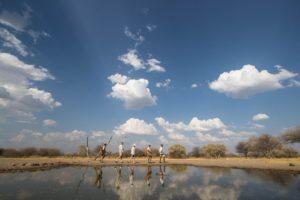 Liquid Giraffe, Botswana Safari, Botswana Safari Camps, Botswana Walking Safari