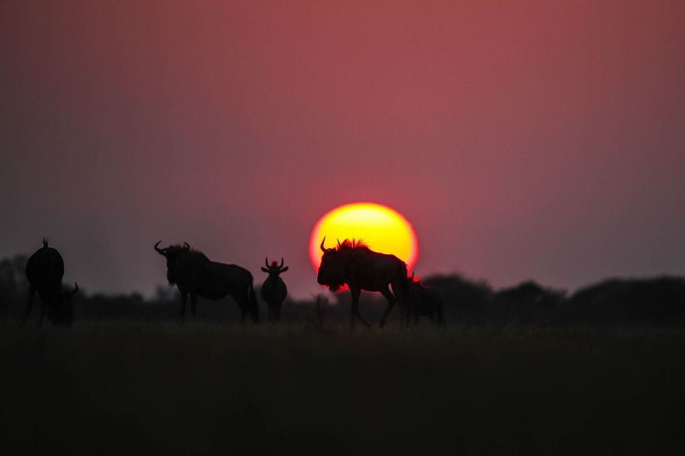 Liquid Giraffe, Botswana Safari, Botswana Safari Camps, Botswana Wildlife Safari, Wildebeest, Sunset