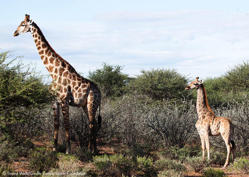 Liquid Giraffe, Dwarf Giraffe Namibia, Dwarf Giraffe Uganda