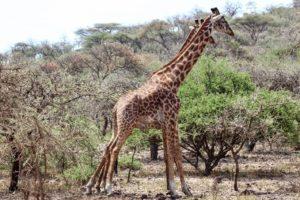 Liquid Giraffe, Ngorongoro Crater, Tanzania Safari, UNESCO World Heritage Site