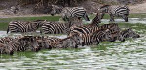 Zebras Drinking, Tarangire, Tanzania Safari, Liquid Giraffe