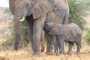 African Elephants, Tarangire, Tanzania Safari, Liquid Giraffe