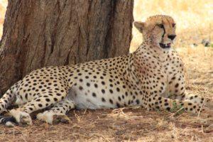 Cheetah, Tarangire, Tanzania Safari, Liquid Giraffe