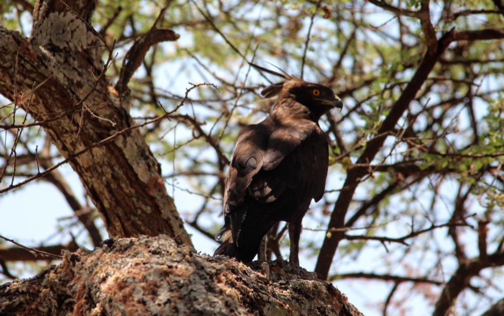 Crested Eagle, Tarangire, Tanzania Safari, Liquid Giraffe